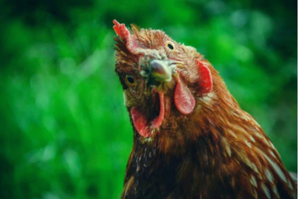 poule-rigolotte